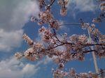 佐野ICの桜